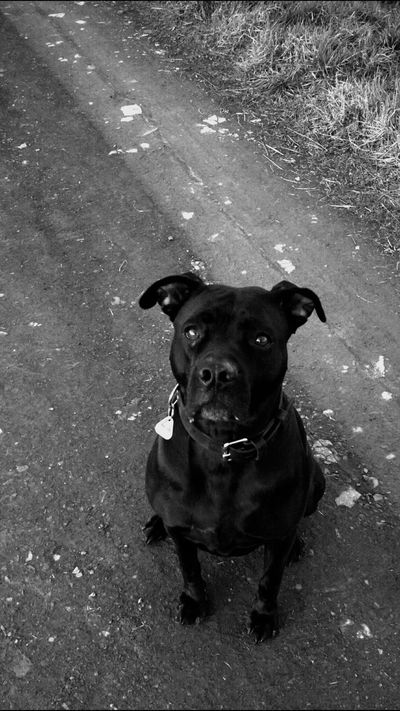 Dogs Of EyeEm Pitbulls Mydogiscoolerthanyourkids Ilovemydog EyeEm Animal Lover Hundeimpressionen Cute Hello World On A Walk Walking Around EyeEm Nature Lover Light And Shadow Landscapes Enjoying Life From My Point Of View Watch This! Having Fun Getting Crazy Pitbull Love Pitbull♥ Deceptively Simple Dog Sitting Waiting Black And White