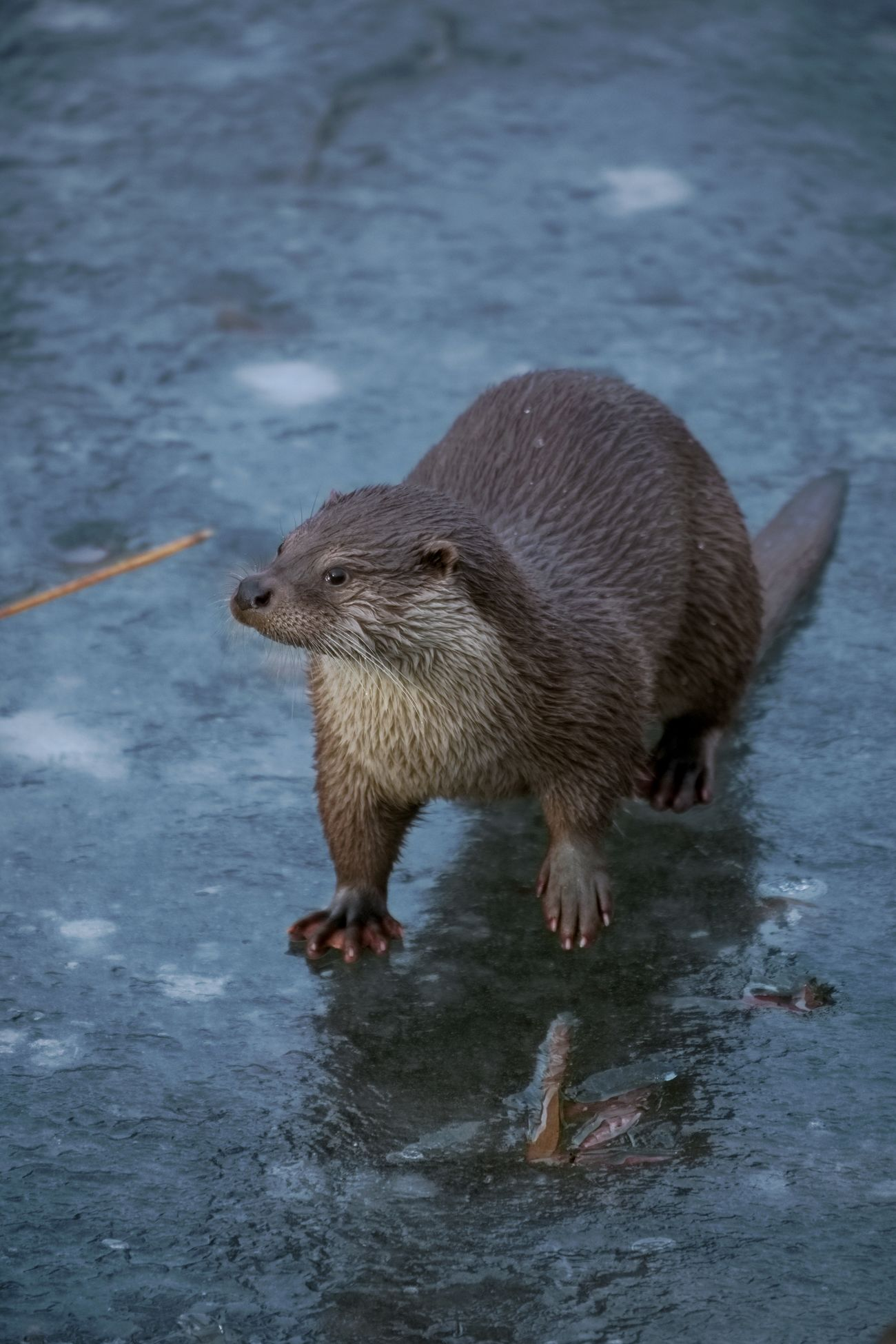 One Animal Otter Fischotter Beautiful Tiere Animal Photography Tierfotografie Cute Animals Schön Winter Winter Wonderland