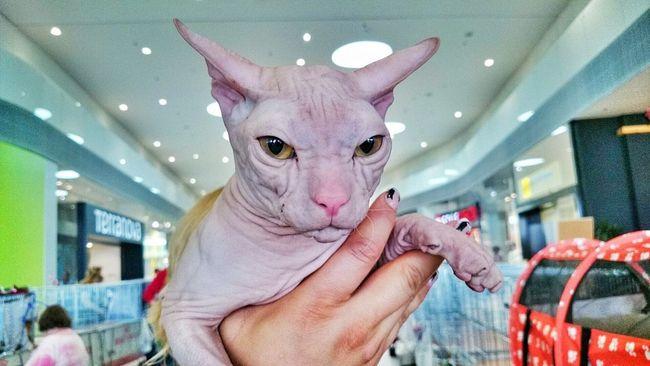 Cat Sphinx Cat Sphinx Animal