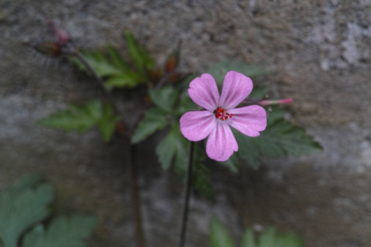 flower, growth, nature, petal, fragility, flower head, beauty in nature, plant, pink color, no people, periwinkle, blooming, freshness, day, outdoors, close-up