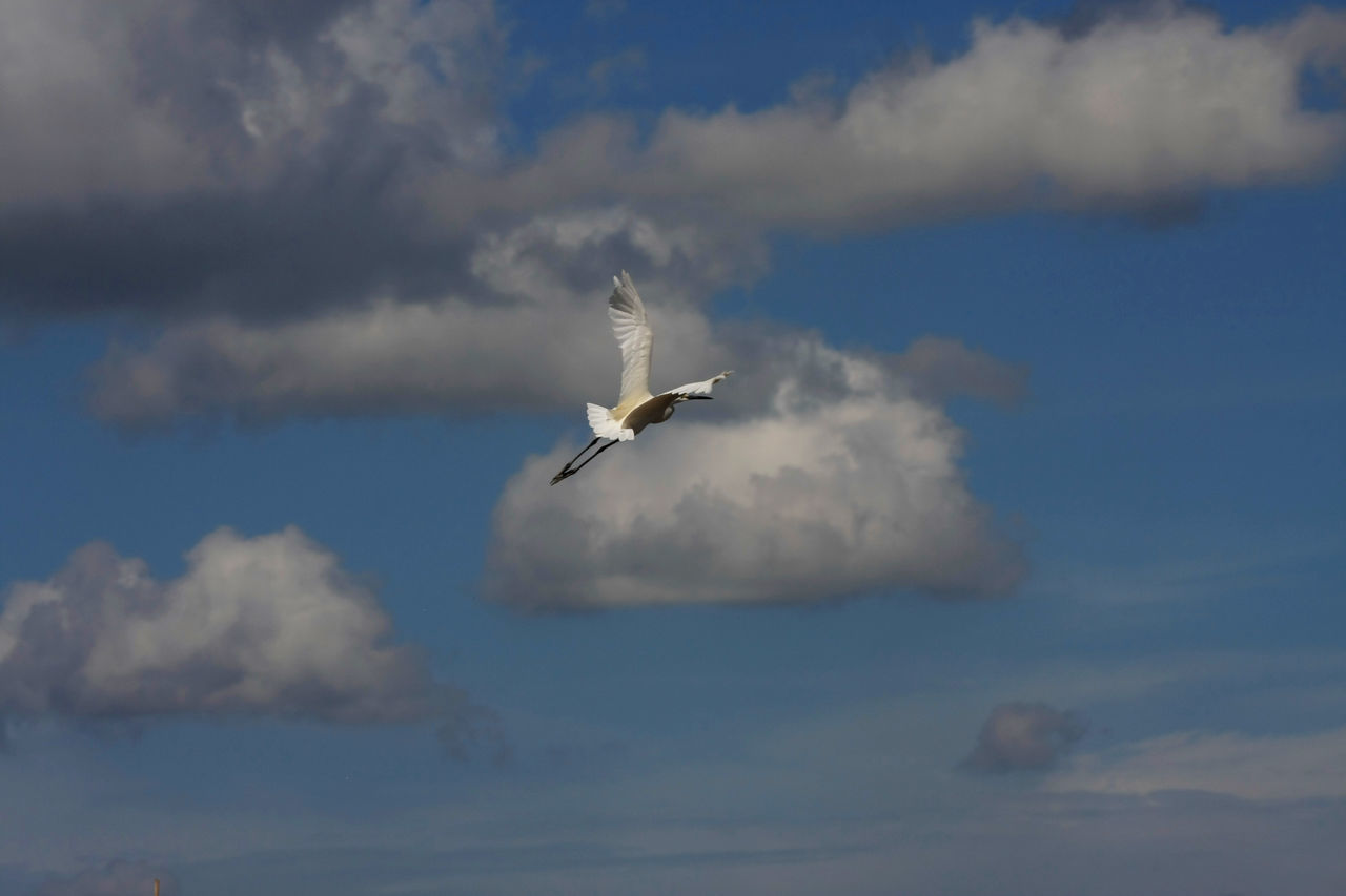Bangau Putih Animal Themes Animalia Animals In The Wild Aves Bird Birds_collection Blue Sky Ciconiidae Cloud - Sky Collection Day Flying Flying Bird Flying High Go Away Nature No People Outdoors Sky Species Speed Spread Wings