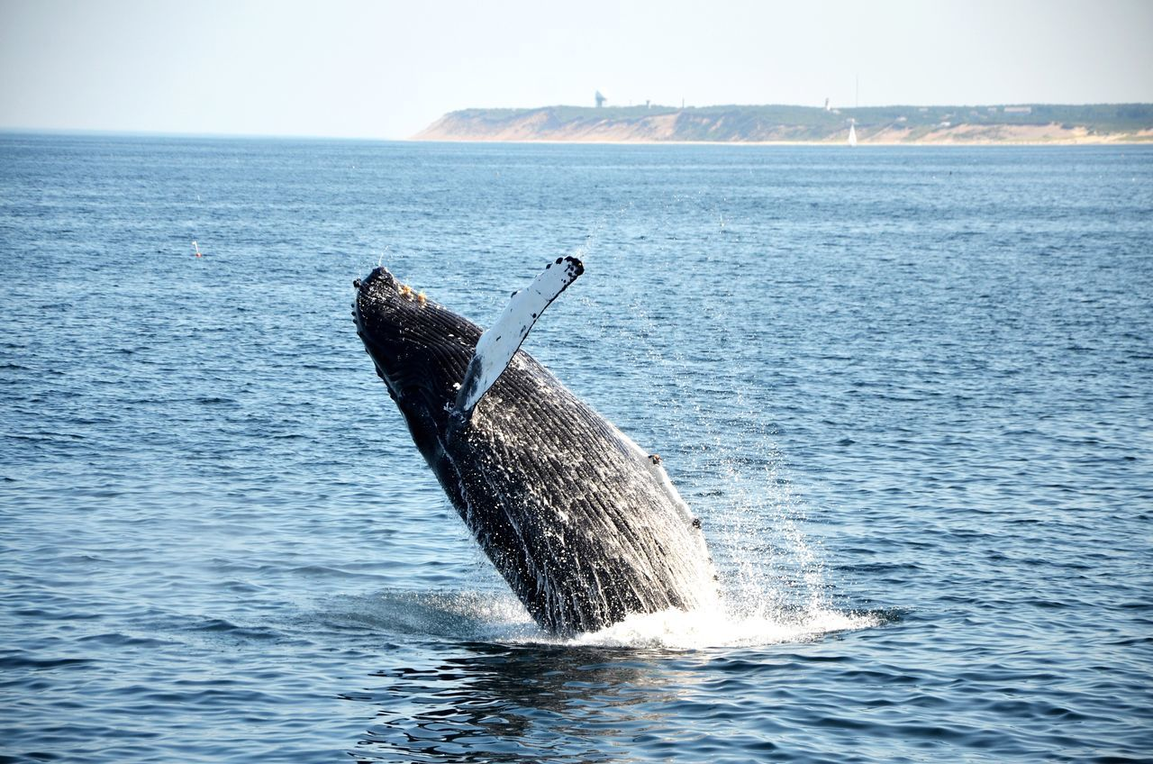 Animal EyeEm Nature Lover Whale Cape Cod Whale Watching The Moment - 2015 EyeEm Awards Protecting Where We Play Capture The Moment Shades Of Blue Splash Landscapes With WhiteWall Animals Blue Wave The Great Outdoors With Adobe Nature's Diversities Sommergefühle