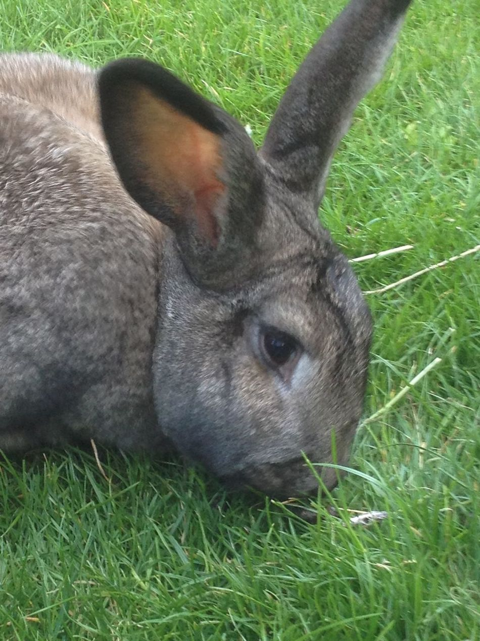 Animal Animal Head  Animal Themes Close-up Focus On Foreground Giant Rabbit Grass Grassy Green Color Mammal No People Outdoors Portrait Rabbit ❤️