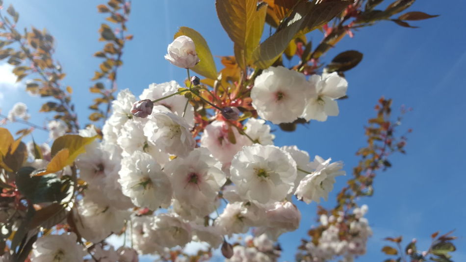 EyeEm Selects Flower Tree Springtime Fragility Growth Blossom Branch Nature Beauty In Nature White Color Freshness Sky Day Outdoors Close-up Blue No People Low Angle View Flower Head Kirschblüte Kirschblüten  Kirschblüten  Kirschblüten Clear Sky