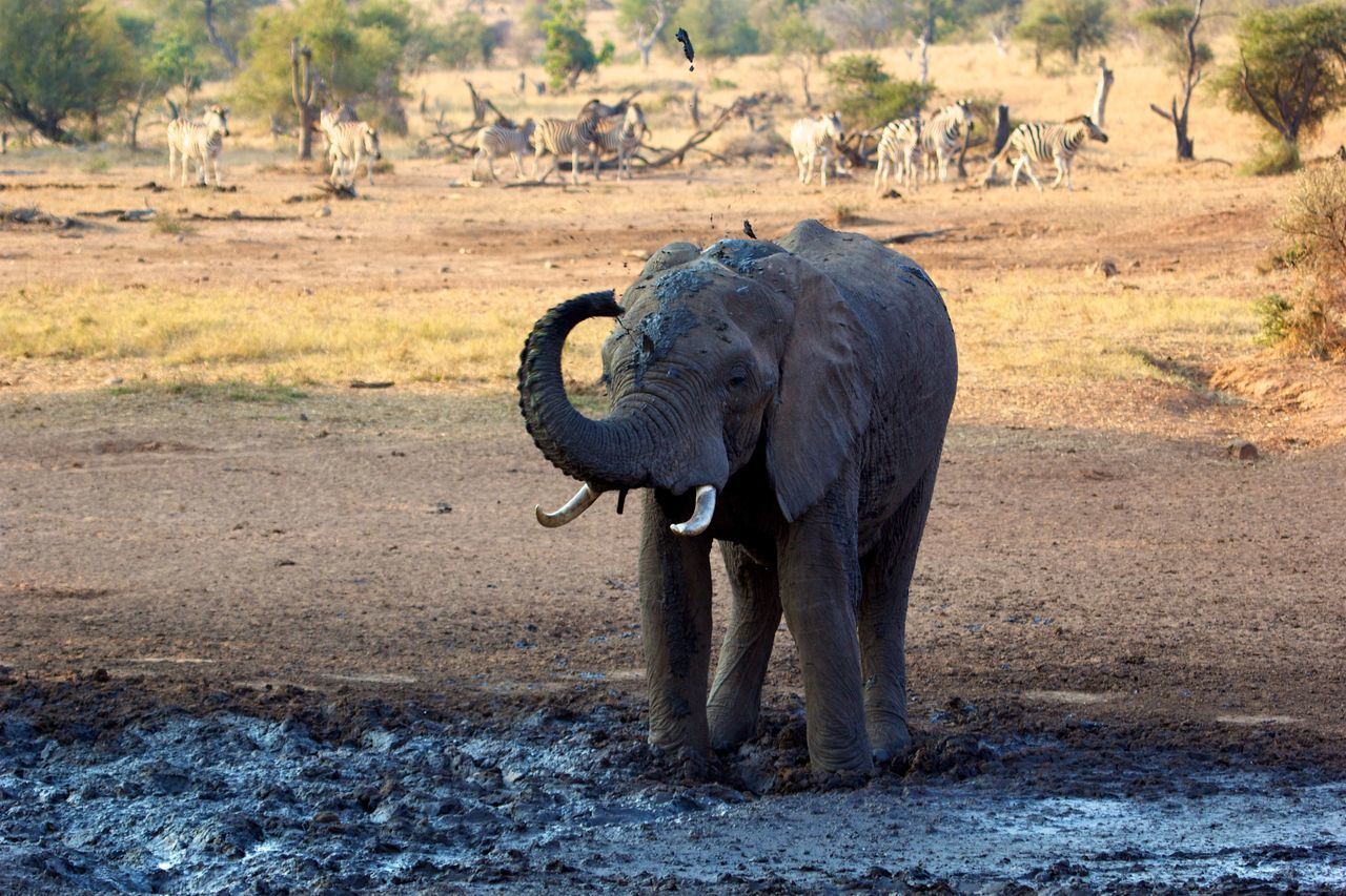 This African Elephant was throwing around mud... African Elephant Animal Animal Body Part Animal Themes Animal Trunk Animal Wildlife Animals In The Wild Day Drinking Elephant Mammal Mud Nature No People One Animal Outdoors Portrait Safari Animals Throw Tusk Tusks