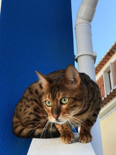 Thor the Bengal