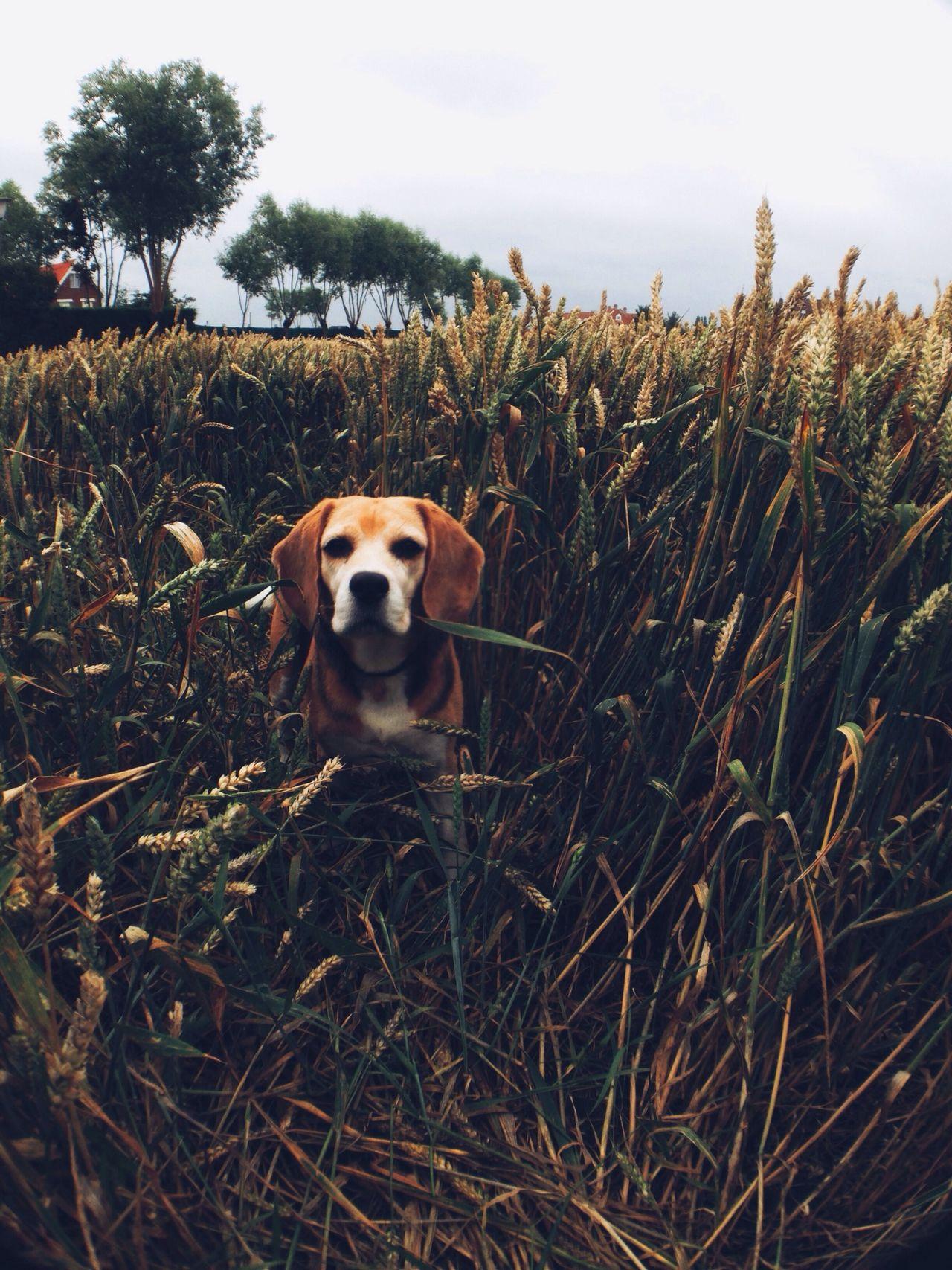 Beautiful stock photos of beagle, Agriculture, Animal Themes, Beagle, Building Exterior