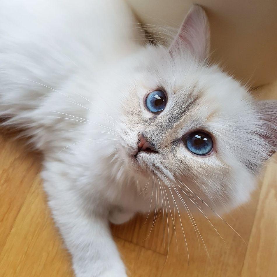Looking At Camera Pets Birmakatze Birman  Cat Katze Blaue Augen