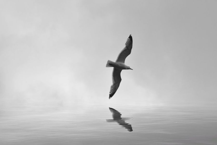 Seagull Bird Flying Reflection Spread Wings Sky Nature Mid-air Beauty In Nature No People Full Length Day Outdoors Black And White Monochrome Seagulls Flight Wings Spread Animal Wildlife Avian