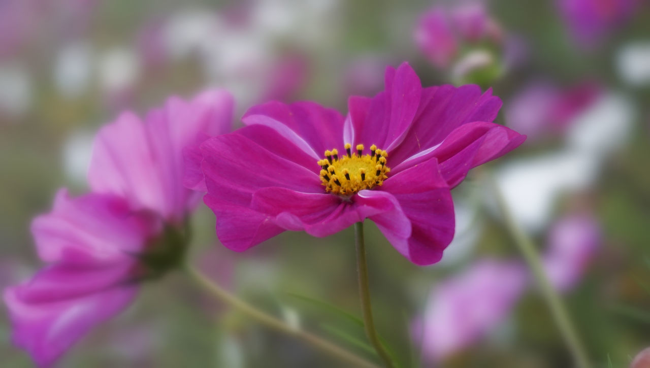 flower, petal, fragility, beauty in nature, nature, flower head, one animal, insect, freshness, growth, animal themes, animals in the wild, plant, pollen, outdoors, purple, day, no people, pink color, blooming, focus on foreground, pollination, close-up, bee, animal wildlife, zinnia