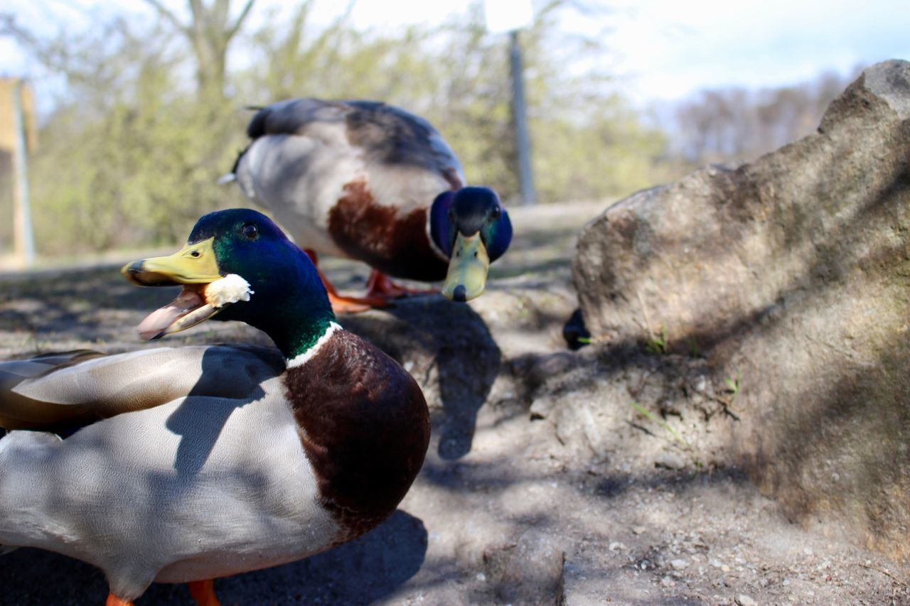 Animal Themes Animal Wildlife Animals In The Wild Beauty In Nature Bill Bird Bird Photography Birds Eat My Bread Birds Of EyeEm  Birds_collection Close-up Colourful Birds Day Duck EyeEm Gallery Focus On Foreground Mandarin Duck Nature No People Outdoors Birds In The Wild