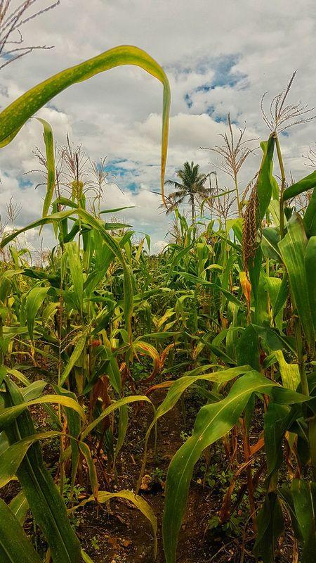 Corn Corn Field Outdoors Beauty In Nature