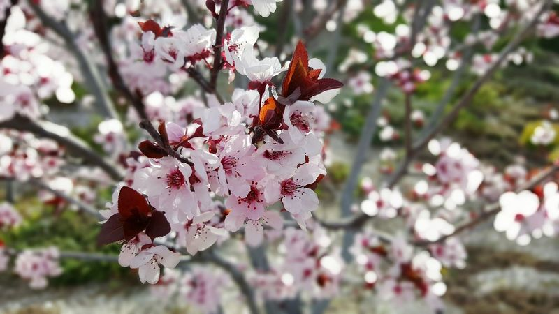 Spring is arriving. Warm Weather No Edit/no Filter Up Close Flowers, Nature And Beauty Flowers In Bloom Walking On The Street Taking Pictures With Friends California Spring Has Sprung Pink Dark Pink Nature Lover Cherry Blossoms