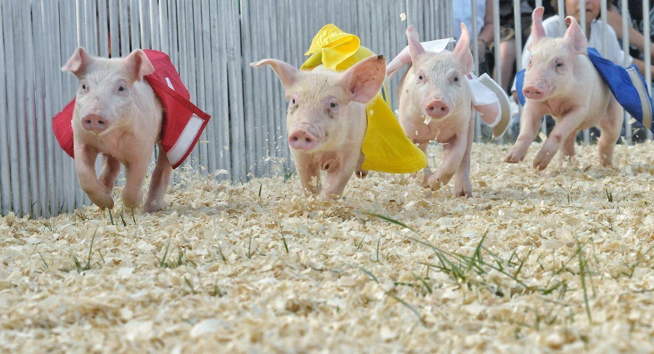 Pig Racing Pig Races Race Piglet Piglets Piglet 🐷🐽 Fair Festival Domestic Animals Livestock Agriculture Mammal Farm Animal Themes Portrait Animal Pets Day