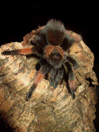 Brachypelma emilia Arachnids Brachypelma Emilia Tarantulas Animal Wildlife Arachnid Brachypelma Pet Tarantula Spider Tarantula first eyeem photo