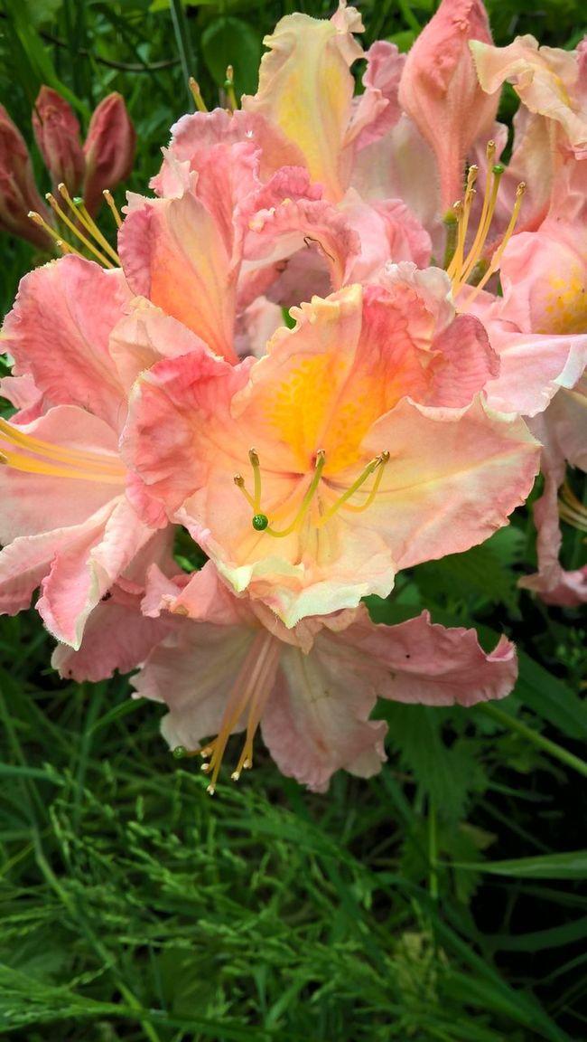 Beningbrough Hall Fujifilm Flower Macro Nokia Lumia 640 Pink