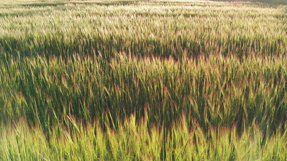 The Great Outdoors With Adobe Wheat sunset nature beauty plants spring green reddish colors Nature's Diversities Color Palette Finding New Frontiers Miles Away EyeEm Diversity
