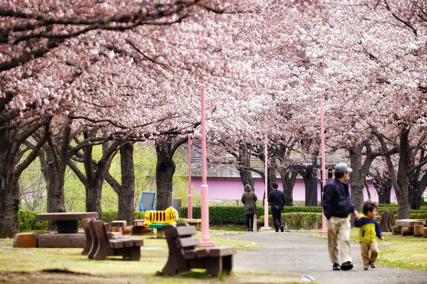 Capture The Moment Depth Of Field Spring Pink Color Blossom Cherry Tree Walking People Long Goodbye Beauty In Nature Snapshots Of Life EyeEmNewHere Fine Art Tranquility Still Life Nature Uzuki Of The Flower Street Photography Uzu St. Fantasy Full Frame Detail Sigma EyeEm Best Shots 17_04