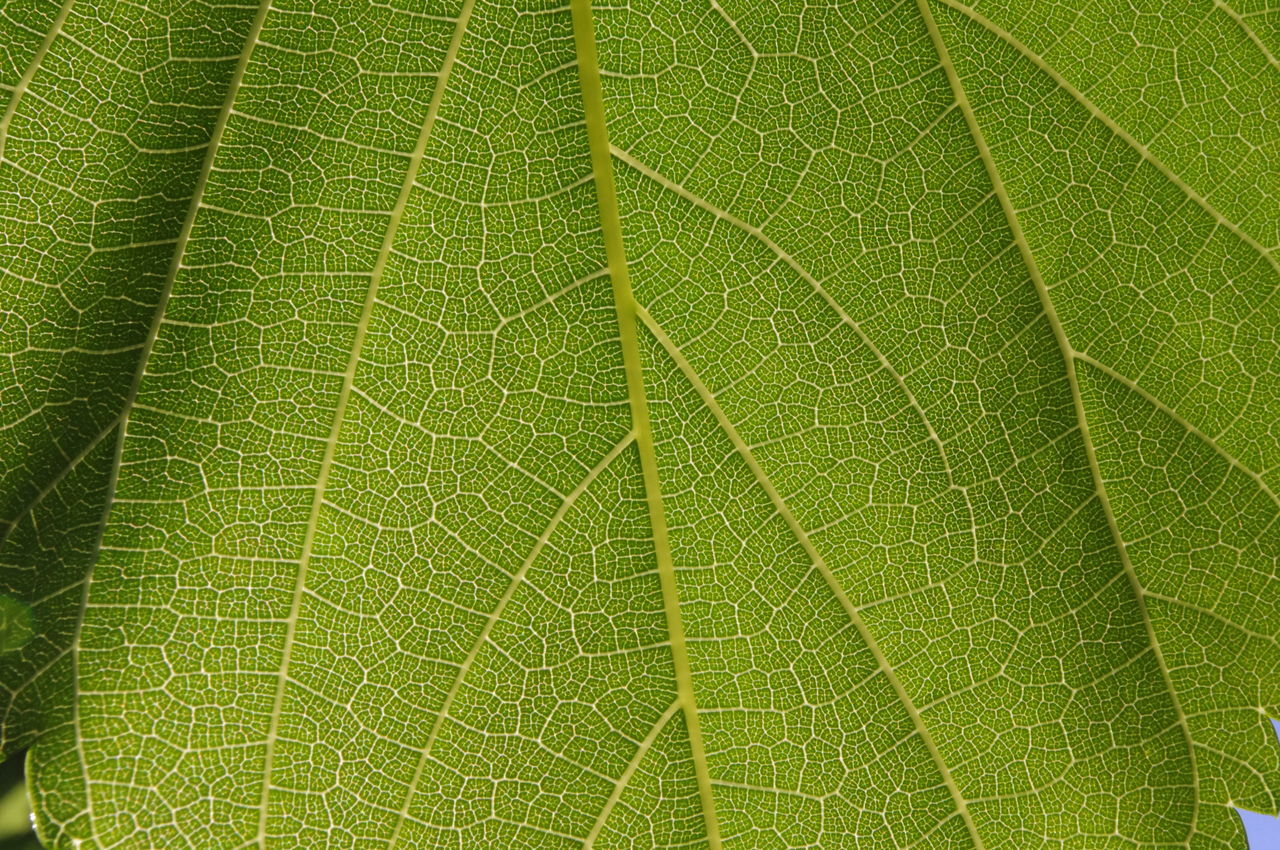 Sunlight through Mulberry Backgrounds Beauty In Nature Close-up Day Environment Freshness Full Frame Green Color Green Leaf Green Leaves Growth Leaf Leaf Vein Life Science Lush - Description Mulberry Nature Outdoors Pattern Photosynthesis Plant Cell Walls Plant Science Tree Water
