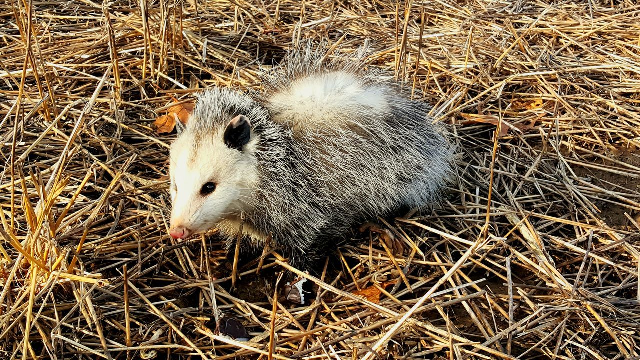 Nature Outdoors Animals In The Wild Michigan Opossum EyeEm Gallery EyeEm Nature Lover Close-up Wheat Field Animal Themes High Angle View Field No People Mammal Day
