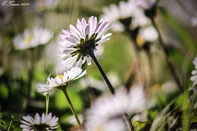 Flowers Papatyalar Masumluk World