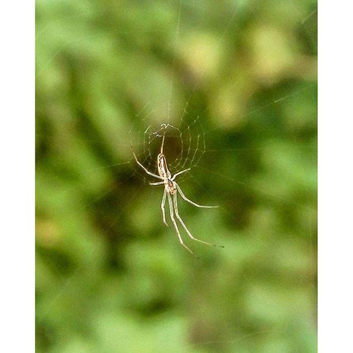 Spider Spiders Wildlife Spidersofinstagram spidersweb closeup closeups webstagram amazing_shot amazingphoto stunning_shots stunning bestphoto bestoftheday instagood instadaily picoftheday photooftheday photoshare_everything insect