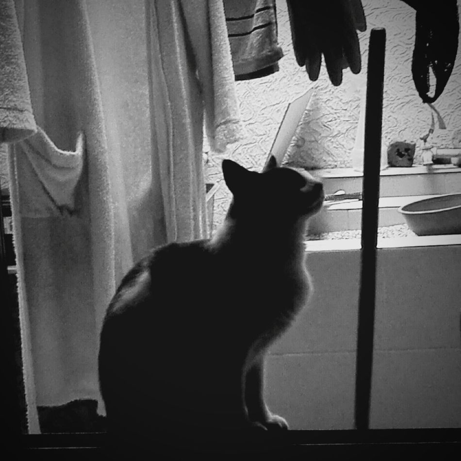 Pets Domestic Cat Animal Themes No People Day Photography Picoftheday Beauty In Nature CALI COLOMBIA First Eyeem Photo Fragility Cat Blackandwhitephotography Black And White Portrait One Animal Domestic Animals Mammal Feline Sitting Curtain Indoors