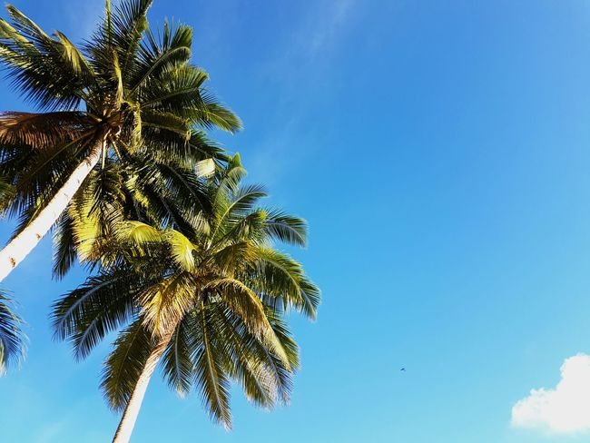 Low Angle View Palm Tree Blue Tree Coconut Tree Clear Sky Tree Trunk Growth Beauty In Nature Day Tall - High Outdoors Sky Branch Treetop High Section Anggopi Beach Biak Papua Indonesia  Dramatic Angles