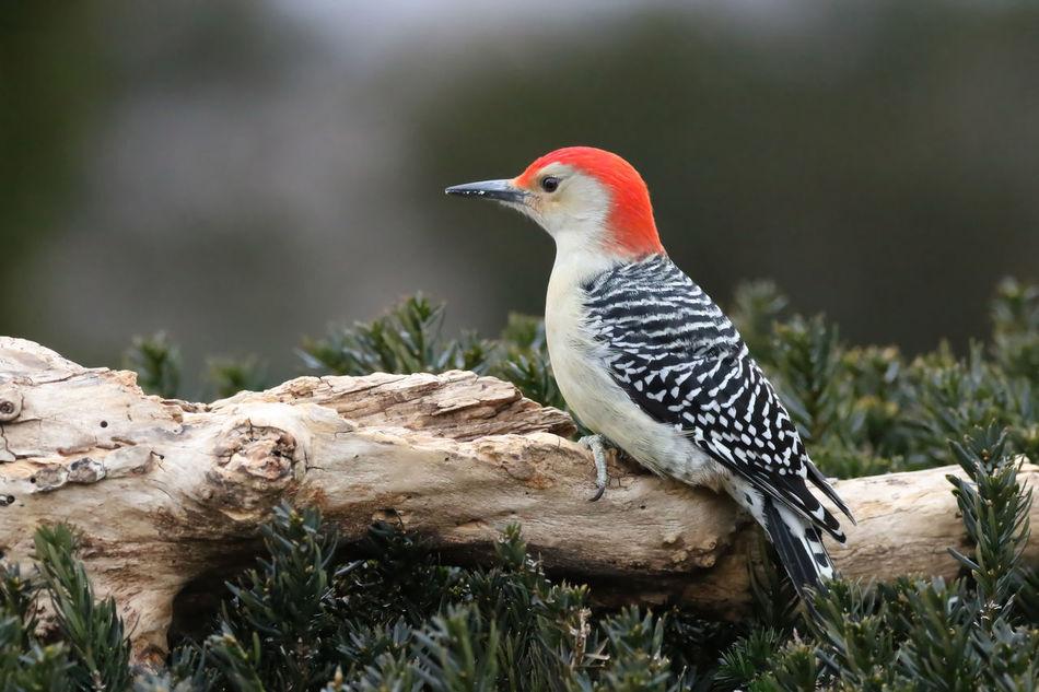 Beautiful stock photos of woodpecker,  Animal Themes,  Animal Wildlife,  Animals In The Wild,  Branch