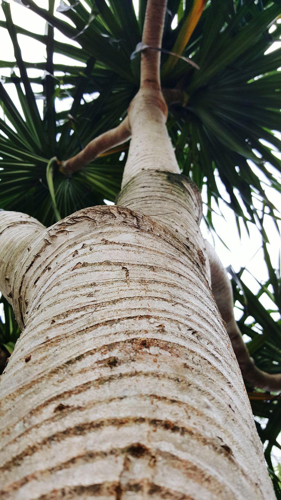 Lauhala Tree Trunk Low Angle View Beauty In Nature No People Makuu Big Island Hawaii Puna Alohastate Namaste ❤
