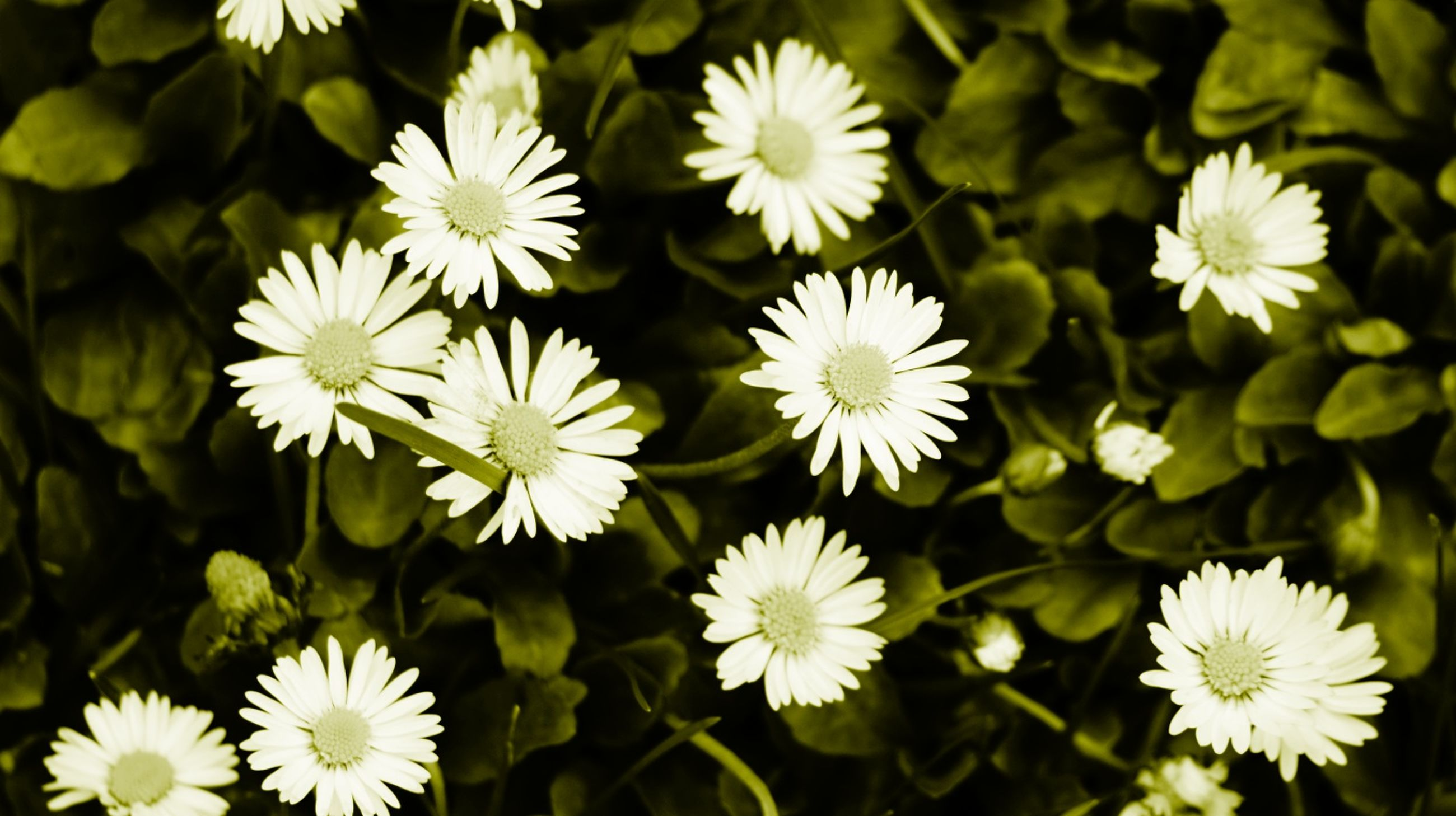 flower, white color, growth, freshness, petal, fragility, plant, beauty in nature, blooming, flower head, nature, daisy, white, high angle view, focus on foreground, close-up, pollen, leaf, park - man made space, green color