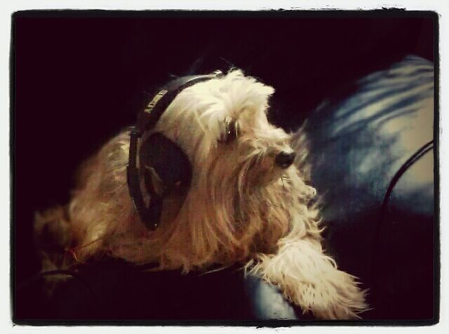 """Listening To Music My Doggy Frasse Listening To Some Music, From The Dog-Top Music List;)  """"who Let The Dogs Out"""""""
