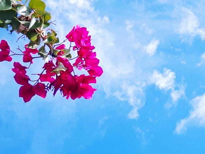 Bougenville  Sky Nature Flower Low Angle View Cloud - Sky Red Beauty In Nature Blue Petal Growth No People Outdoors Leaf Freshness Day Fragility Summer Tree Branch Pedal Pink
