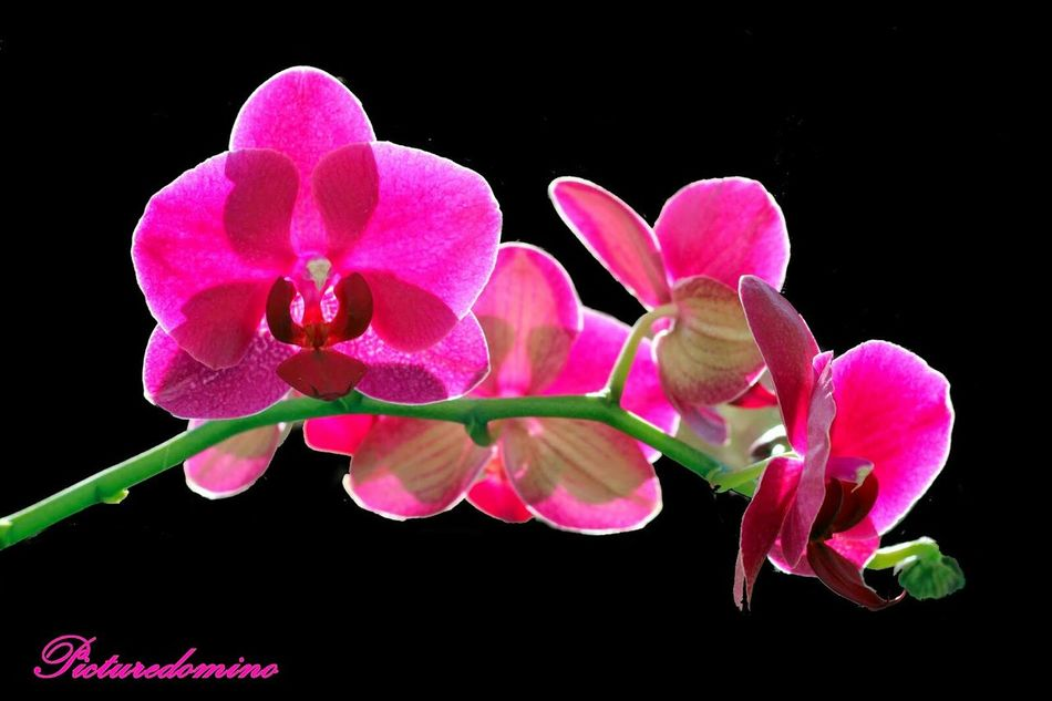 Orchidee Pink Light Flower Flower Collection