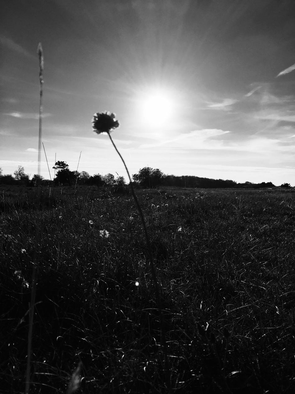 Flower sunbathing Atmosphere Atmospheric Mood Bare Tree Beauty In Nature Environmental Conservation Field Grass Grassy Growing Growth Ike4like Iphoneonly Journey Light Meadow Nature No People Outdoors Plant Rural Scene Smile Sun Technology Tranquil Scene Tranquility