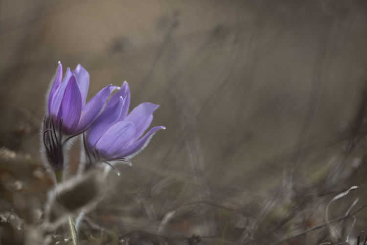Greater pasque flower / Pulsatilla grandis [Canon EF 300mm f/2.8 L IS II USM] Flower Flower Head Pasque Flower Purple Purple Flower Spring Spring Flowers Springtime