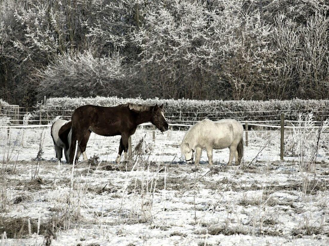 Nature Landscape Winter Winter Wonderland White Pony Animals In Winter