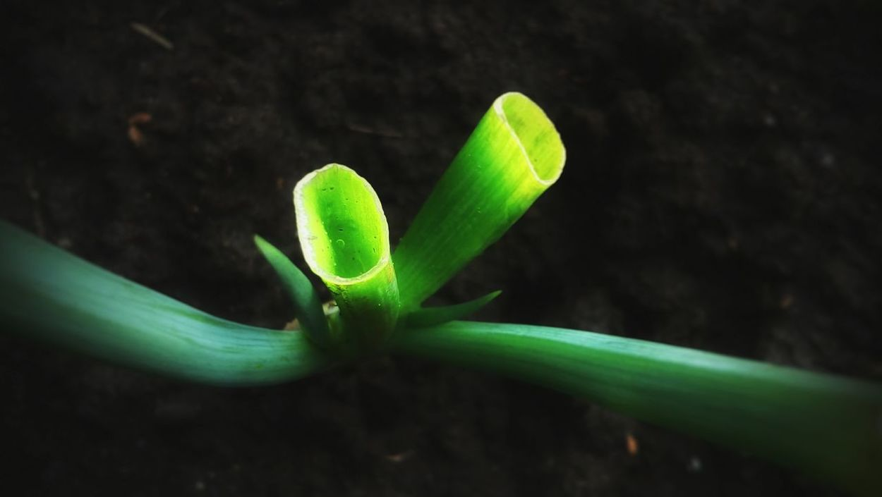 Onion Green Color Growth Plant Nature Close-up No People Outdoors Freshness Beauty In Nature Day Onion Plant EyeEmNewHere