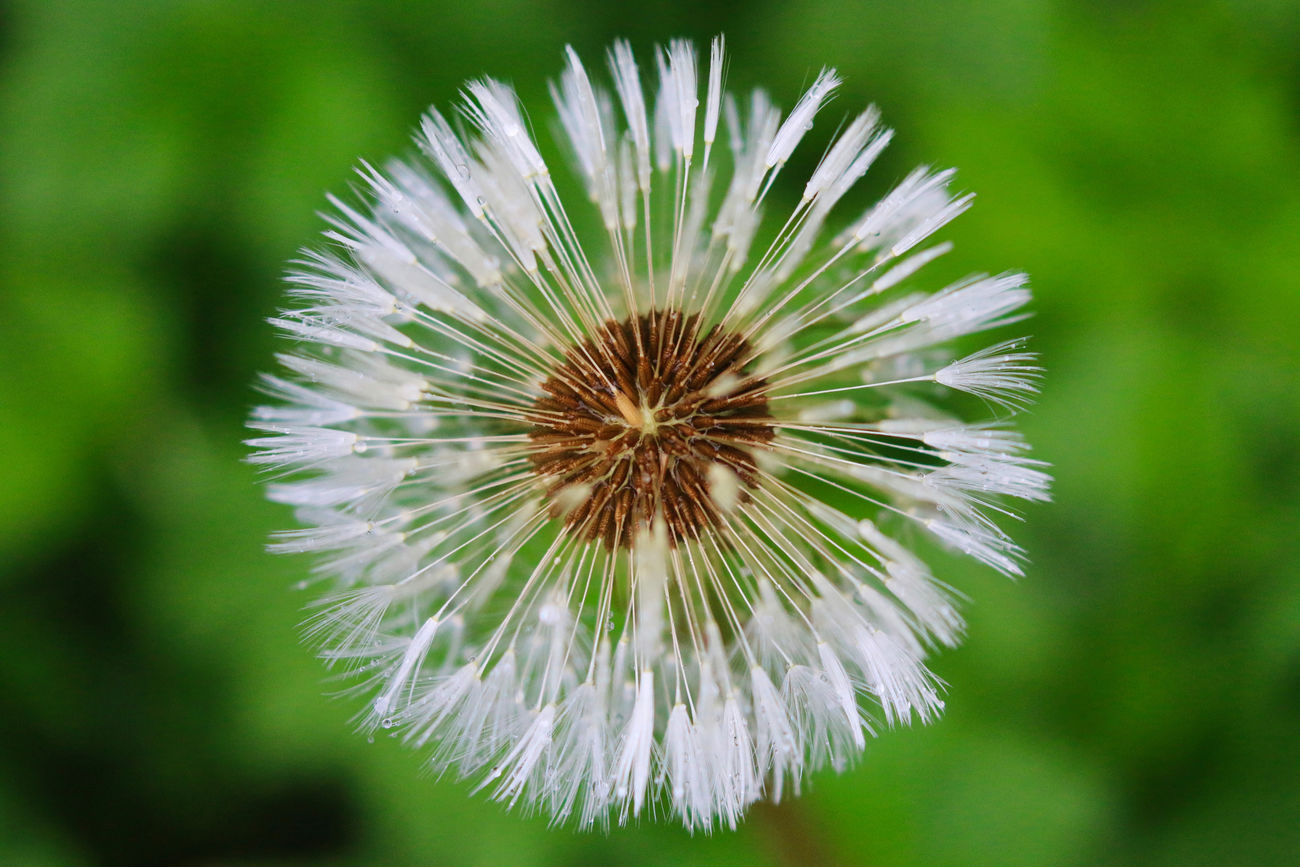Nature's patterns and textures Beauty In Nature Close-up Dandelion Day Flower Flower Head Focus On Foreground Fragility Freshness Growth Nature No People Outdoors Plant