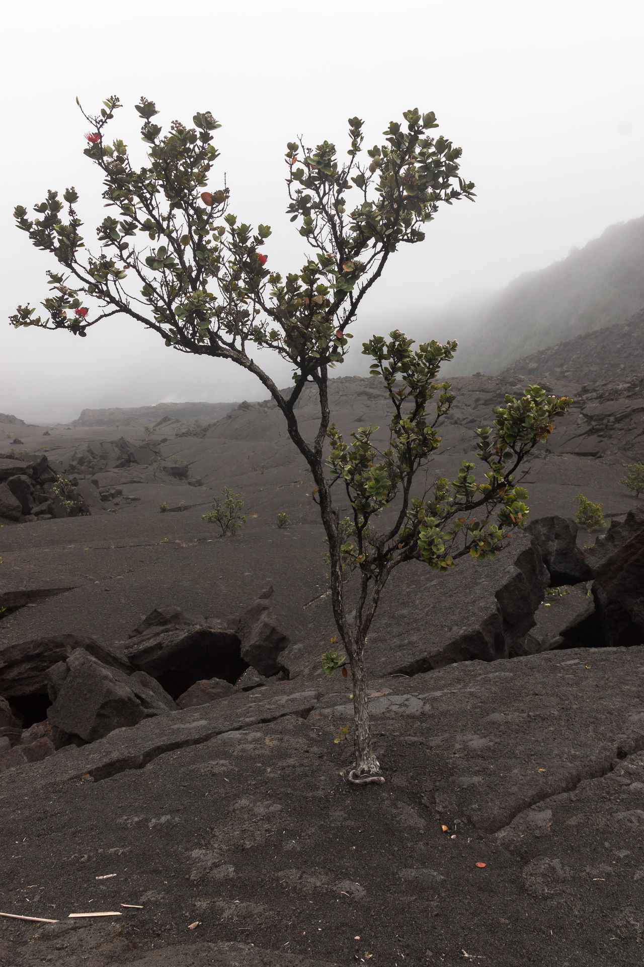 Barren Beauty In Nature Crack Day Fog Growth Hawaii Kilauea Ike Crater Landscape Modest Mountain Nature No People Outdoors Phoenix Plant Scenics Sky Survival Survive Survivor Tranquil Scene Tranquility Tree Volcano National Park