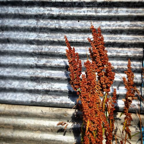 Beauty In Nature Botany Change Close-up Corregated Steel Day Focus On Foreground Fragility Growth Nature No People Outdoors Plant Rust Rusty Season  Selective Focus Shadow Stem Textures And Surfaces Tranquility Traveling Weather
