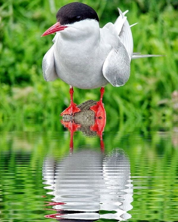 bird Artic Tern Bird Photography Birdwatching Beauty In Nature Water Reflections