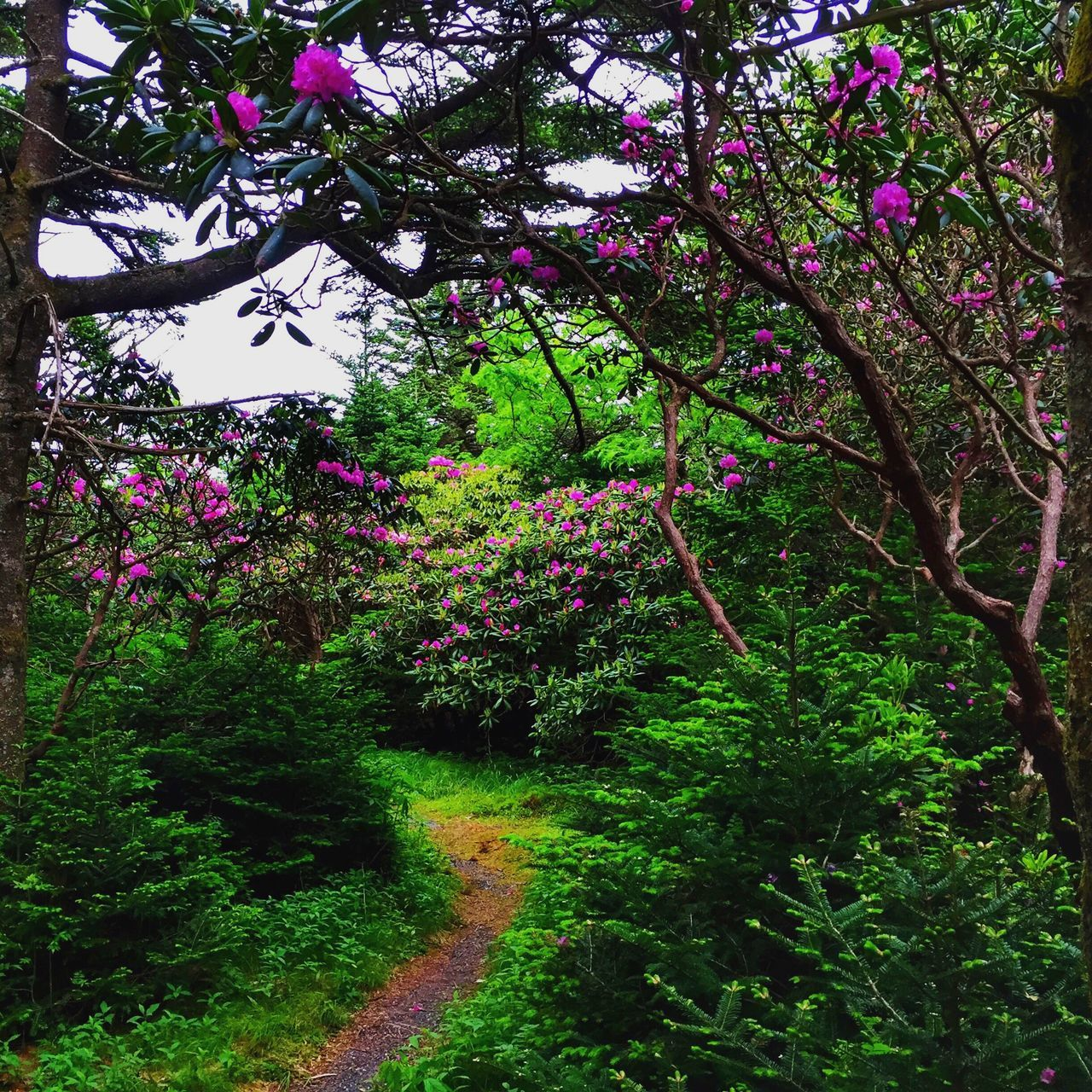 Roan Mountain Tennessee Roll On Springtime 🐦 Flower Growth Nature Beauty In Nature Freshness Purple Blossom Tree Fragility Outdoors No People Green Color Day Rhododendron Exploring Style EyeEm Best Shots Path In Nature Forest