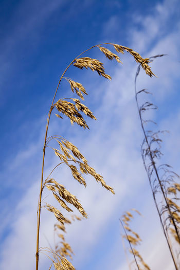 Wild oats against a blue Sicilian sky #avena Fatua #common Wild Oat Blue Cereal Plant Close-up Day Fragility Growth Low Angle View Nature No People Outdoors Plant Sky