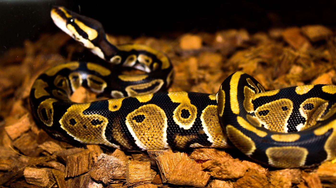 Python Serpent Pythons Pythonregius Animals Reptile Reptiles Reptile Photography Serpents First Eyeem Photo