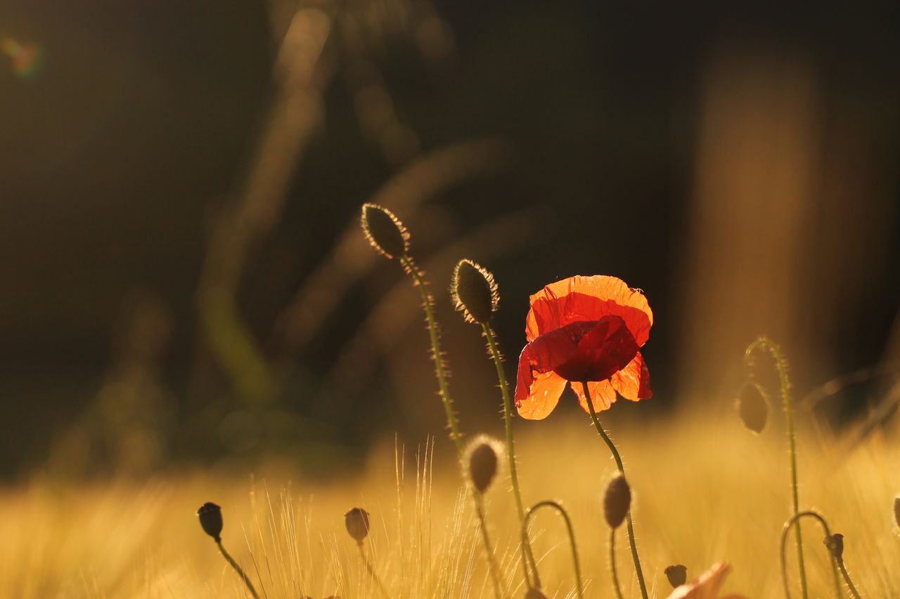 Beauty In Nature Botany Bud Close-up Day Field Flower Flower Head Focus On Foreground Fragility Freshness Growing Growth In Bloom Nature No People Outdoors Poppy Poppy Flowers Red Selective Focus Stem Summer Sunset Tranquility