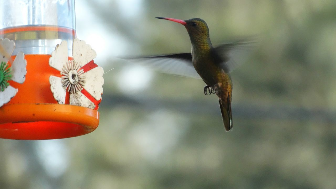 one animal, animal themes, animals in the wild, animal wildlife, hummingbird, bird feeder, focus on foreground, no people, bird, day, nature, flying, outdoors, spread wings, close-up