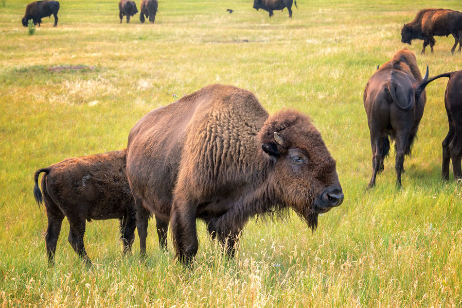 Herd of bison in Custer State Park, South Dakota American American Bison Animal Animals Animals In The Wild Bison Black Hills Brown Buffalo Custer State Park Grass Grassland Herd Mammal Mammals Nature Nature Park Park - Man Made Space South Dakota Tourism Travel USA Wildlife Wildlife & Nature