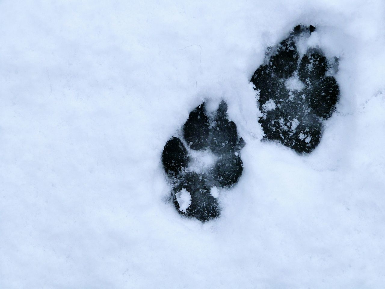 Puppy play Play Cute Footprints Snow FootPrintsInTheSnow Dog Pets Labradoodle Nature Weather Blackandwhite Scotland Spring Fun Puppy
