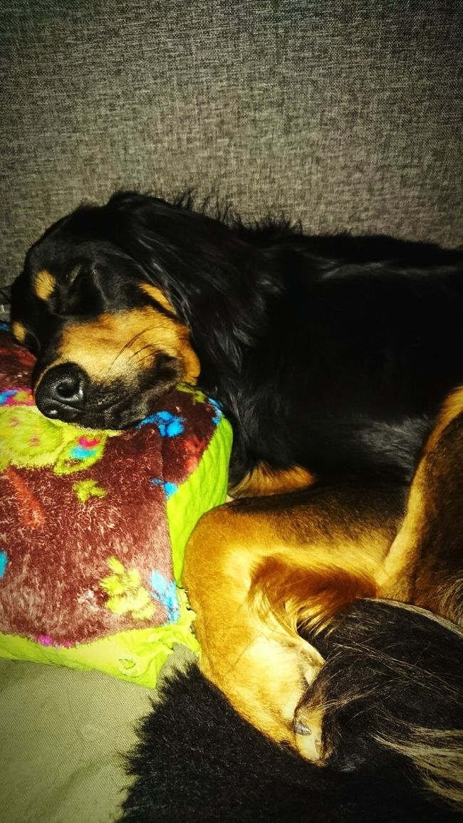 Relaxing Sleeping Schlafen Tiere Hunde Dog